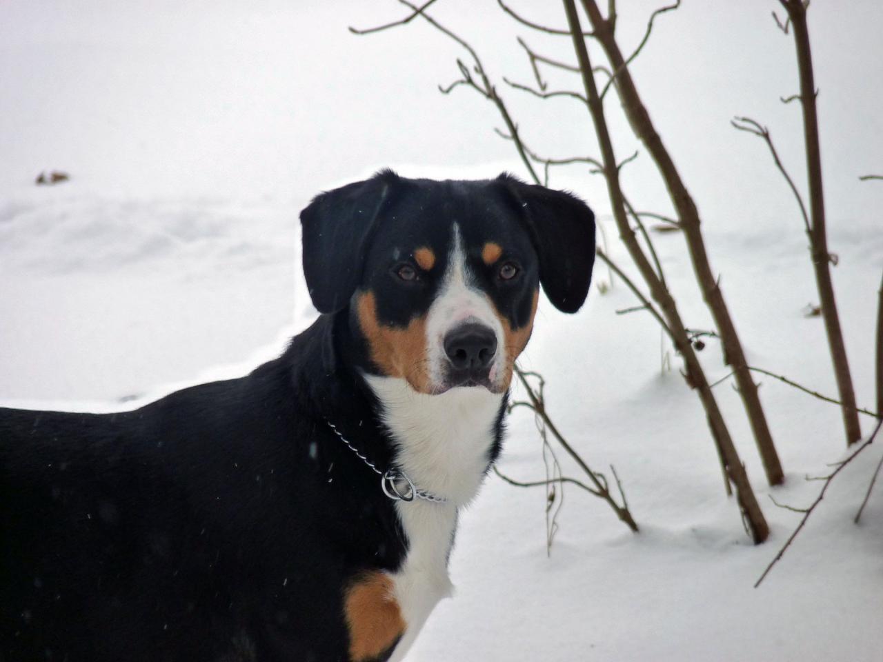 Faïgo dans la neige